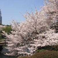 大人の放課後桜マニア